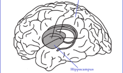 hippocampus-in-the-brain