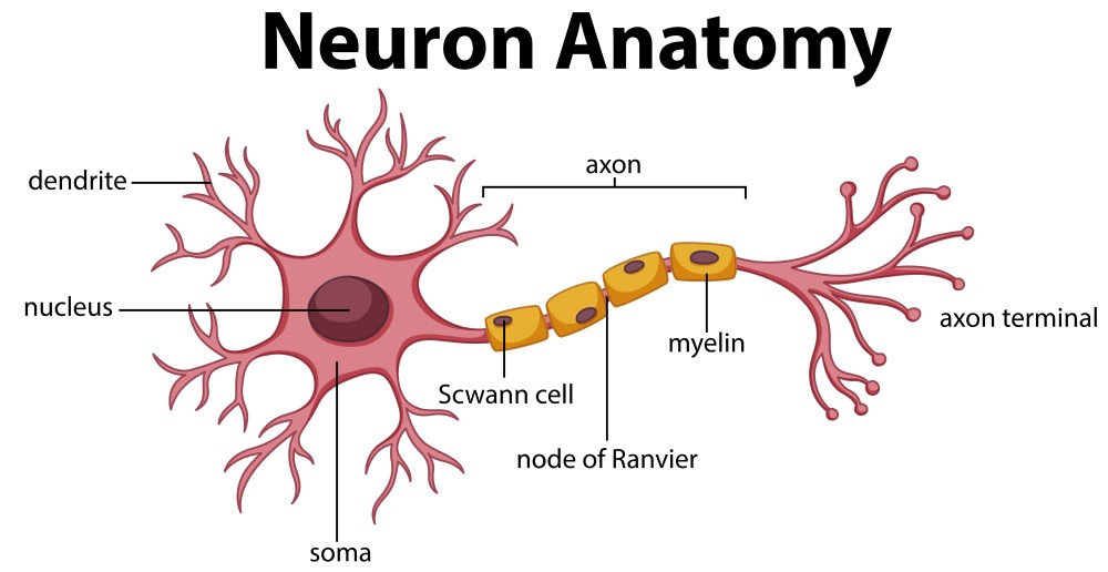 neuron-anatomy
